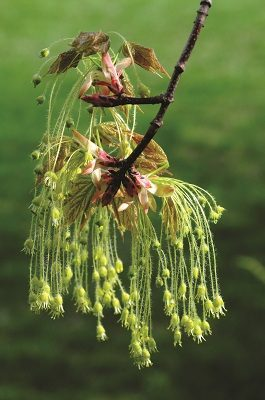 Often overlooked is the simplistic beauty of a maple tree flower at the beginning of spring.