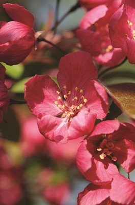 You may have thought you've seen a flowering crabapple, but it might be a Red Japanese cherry blossom like this one.