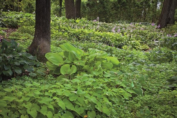 Al Ritchey starting planting hostas years ago to landscape the area around his auto body business on North Walworth Road. Today, plants like the large leaf Sun and Substance and the blue leaf Crossa Regal, both adjacent to the tree in the photo above, are in abundance in his arboretum. At this year's Hosta Fest, Ritchey will debut a new plant called Compadre which has been evolving in the arboretum for over 16 years.