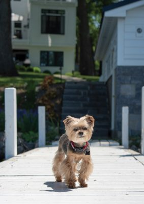 Madison, 15 1/2-year-old Yorkshire Terrier